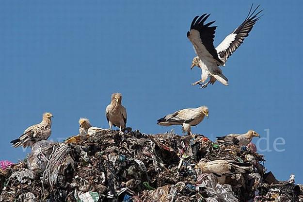 Ansammlungen von Schmutzgeiern auf einer Müllkippe