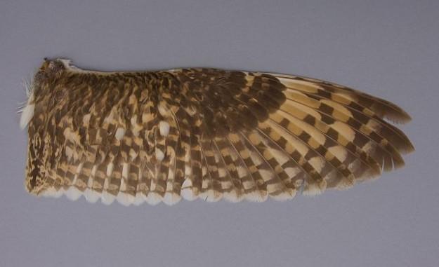 kompletter Flügel einer Sumpfohreule