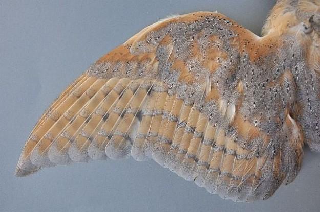 kompletter Flügel einer etwas helleren Schleiereule