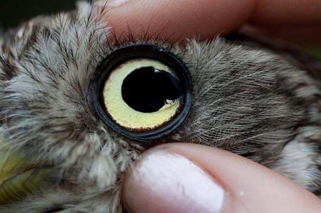 Nahaufnahme Irisriss beim Steinkauz (Foto Hans Thissen)