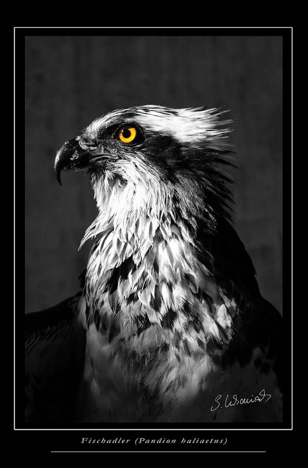 Fischadler SW Foto Sylvia Urbaniak