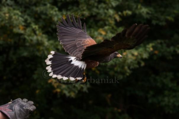Harris Hawk - der Klassiker der nicht heimischen Greifvogelarten, der gern gehalten wird