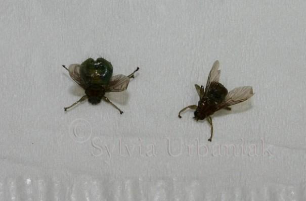Lausfliegen: links das Weibchen, rechts das Männchen