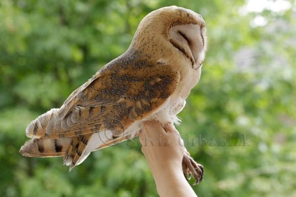 Schleiereulen Altvogel