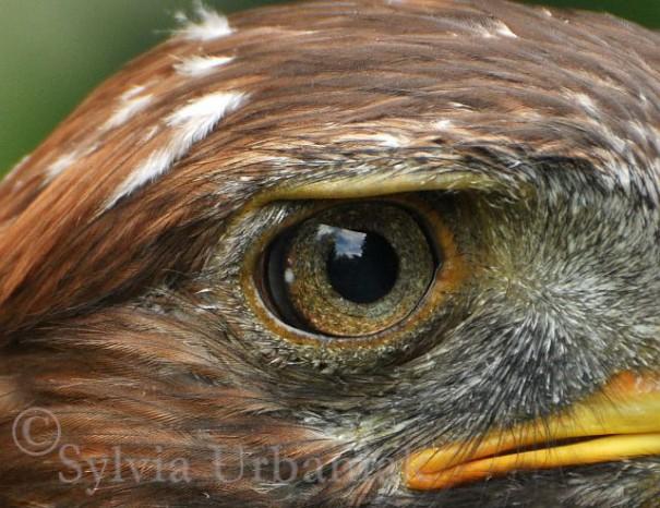 über 30 Jahre alter Steinadler mit pigmentierter Iris
