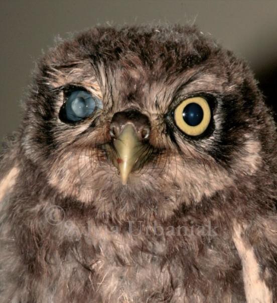 junger Steinkauz mit Hornhautdurchbruch - das Auge konnte nicht mehr gerettet werden