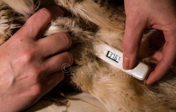 Wir messen die Körpertemperatur mit einem herkömmlichen Fieberthermometer vorsichtig in der Kloake des Tieres