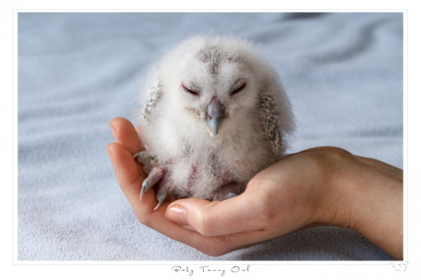 Walldkauz_Baby_Tawny_ Owl