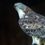 Wespenbussard_Honey_Buzzard