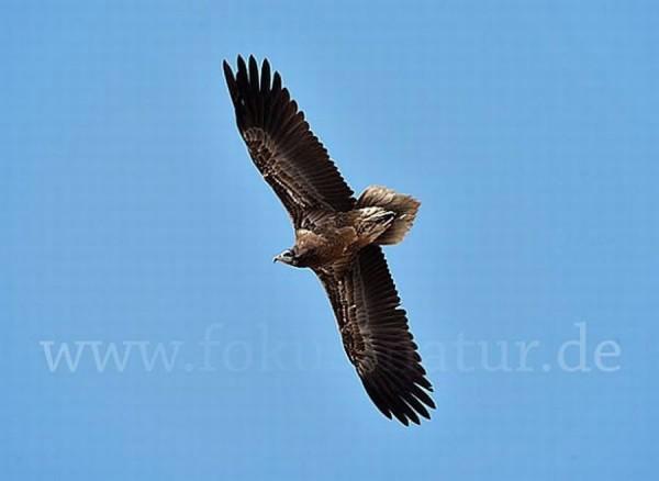 junger Schmutzgeier (Egyptian Vulture)