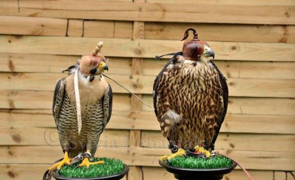 Wanderfalke Altvogel (links) und Jungvogel (rechts) im Gefiedervergleich Der Altvogel ist ein Männchen und der Jungvogel ein Weibchen